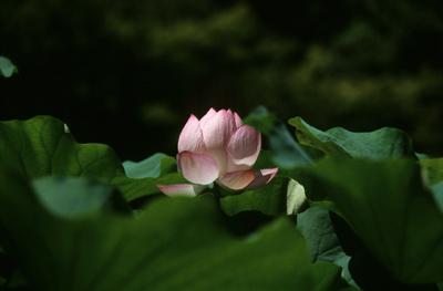 Photo: lotus 2002. Kyoto, Japan, Contax RX, Carl Zeiss Vario-Sonnar T* 35-135mm/F3.3-4.5(MM), Kodak EB-2, Nikon LS5000