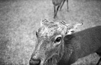 Wild buck