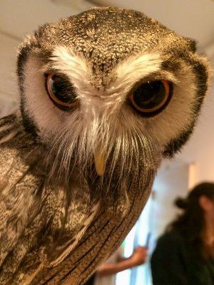 Owl cafe. (horn owl)