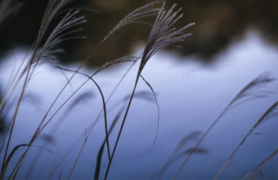 "Photo: ""Japanese pampas grass."""